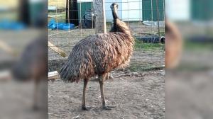 'Habitual runaway' emu being sought by Minnesota sheriff's deputies