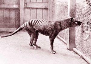 Tasmanian tiger seen 80 years after it was thought to have gone extinct: report