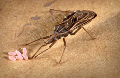 300,000 CASES OF CHAGAS REPORTED IN U.S.