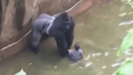 Rare-Species-Gorilla-Killed-In-Cincinnati-Zoo-To-Save-4-Year-Old-Kid
