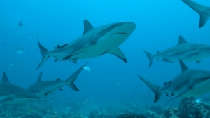 Half million sharks 'could be killed for vaccine'…